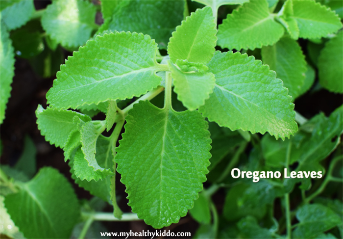 Oregano Leaves Omavalli